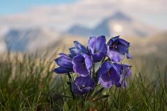 dzwonek-alpejski