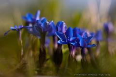 goryczka-wiosenna